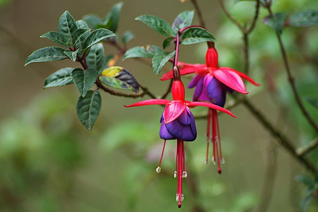 fuchsia, drought-tolerant shade plants, fuchsia plants, fuchsia flowers, plants for shady gardens