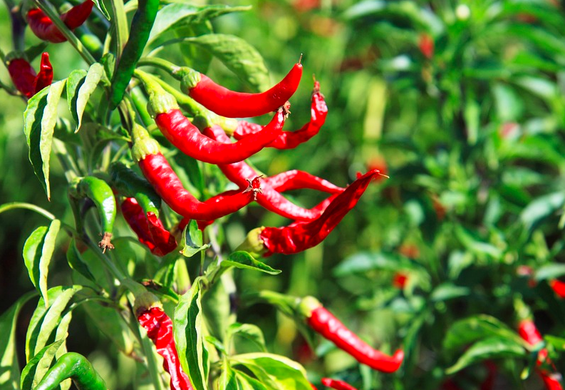 hot peppers, chili peppers, peppers, chilli peppers, red peppers