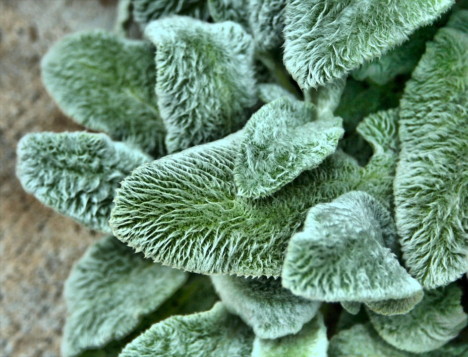 lamb's ear, textured plants, heavily textured plants, deer repelling plants, keep deer out of garden