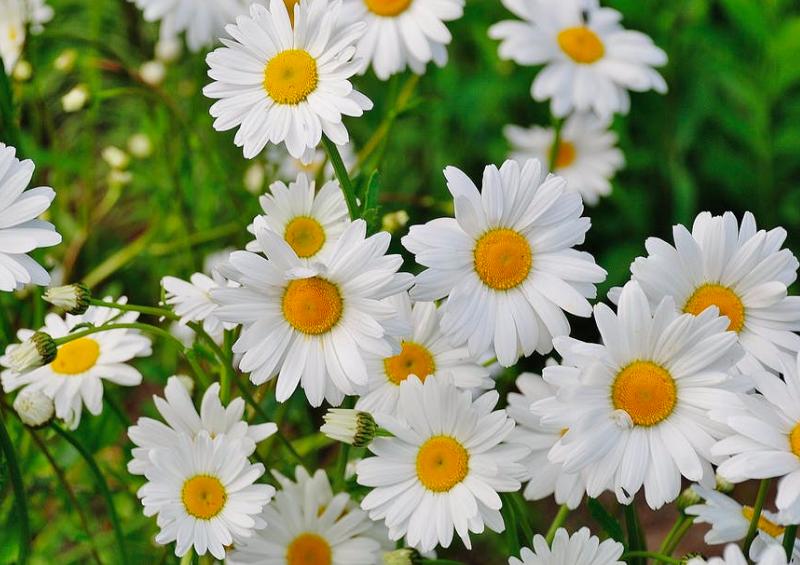 mat daisies, daisies, miniature mat daisies, drought-tolerant shade plants, drought-tolerant shade plants