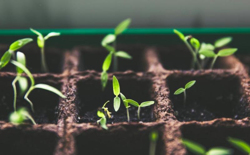 pepper seedlings, peppers, hot peppers, growing peppers