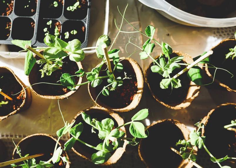 pepper seedlings, peppers, seedlings, transplanting seedlings