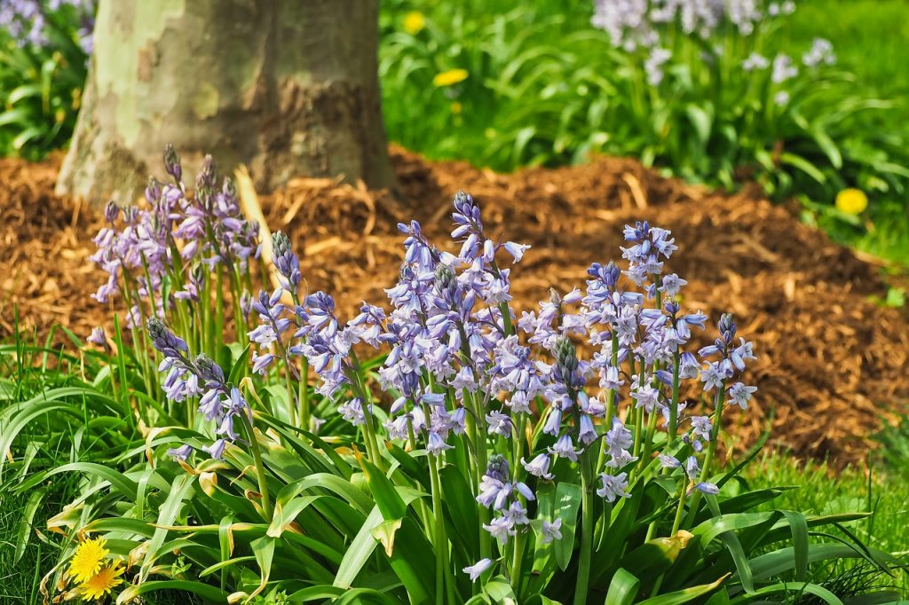 drought-tolerant shade plants, shade plants, bluebells, English blue bells