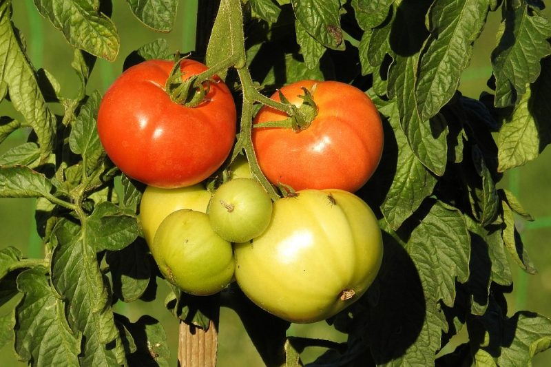 tomato plant diseases, tomato plant problems, heal your tomato plants, tomatoes, growing tomatoes