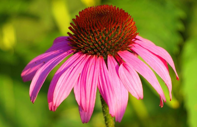 medicinal flowers, medicinal plants, plant medicine, echinacea, echinacea angustifolia, echinacea purpurea