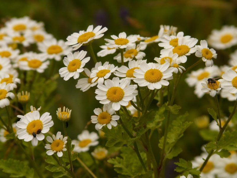 medicinal flowers, medicinal plants, herbalism, herbal medicine, feverfew