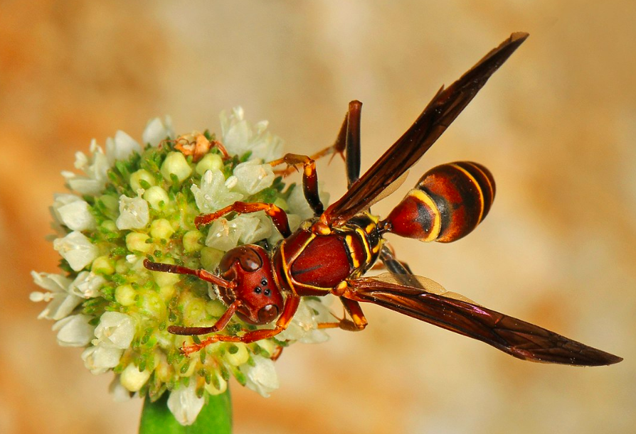 paper wasp, paper wasps, paper wasp nest, wasps, pest control, get rid of paper wasps, paper wasp control