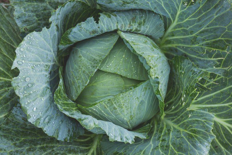 winter vegetable garden, winter vegetables, growing winter vegetables, cabbage, grow cabbage in winter, cabbages