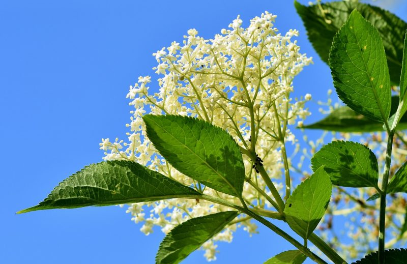 medicinal flowers, herbal medicine, medicinal herbs, elder, elderflower, elder berries, sambucus nigra, sambucus