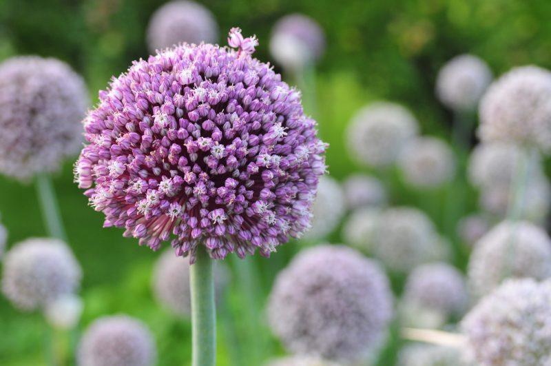 garlic varieties, elephant garlic, garlic types, growing garlic, garlic