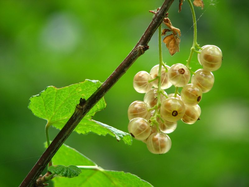 gooseberries, gooseberry varieties, gooseberry, growing gooseberries