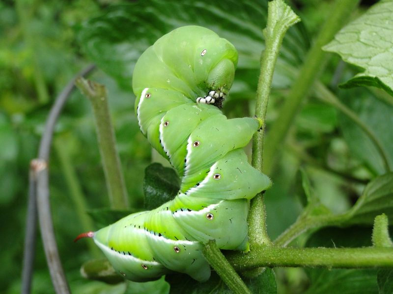 vegetable companion planting, companion planting, pests, garden pests, tomato hornworm