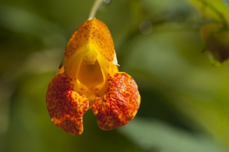medicinal flowers, medicinal plants, jewelweed, jewel weed, impatiens capensis, touch-me-not