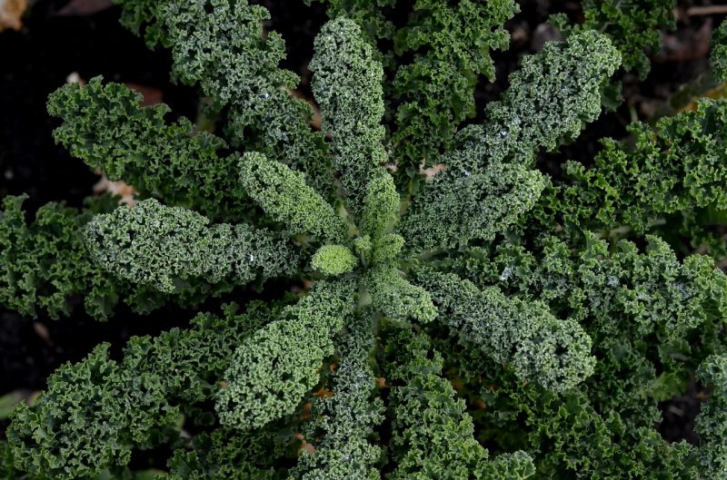 winter vegetable garden, winter vegetables, kale, lacinato kale, Tuscan kale, dinosaur kale