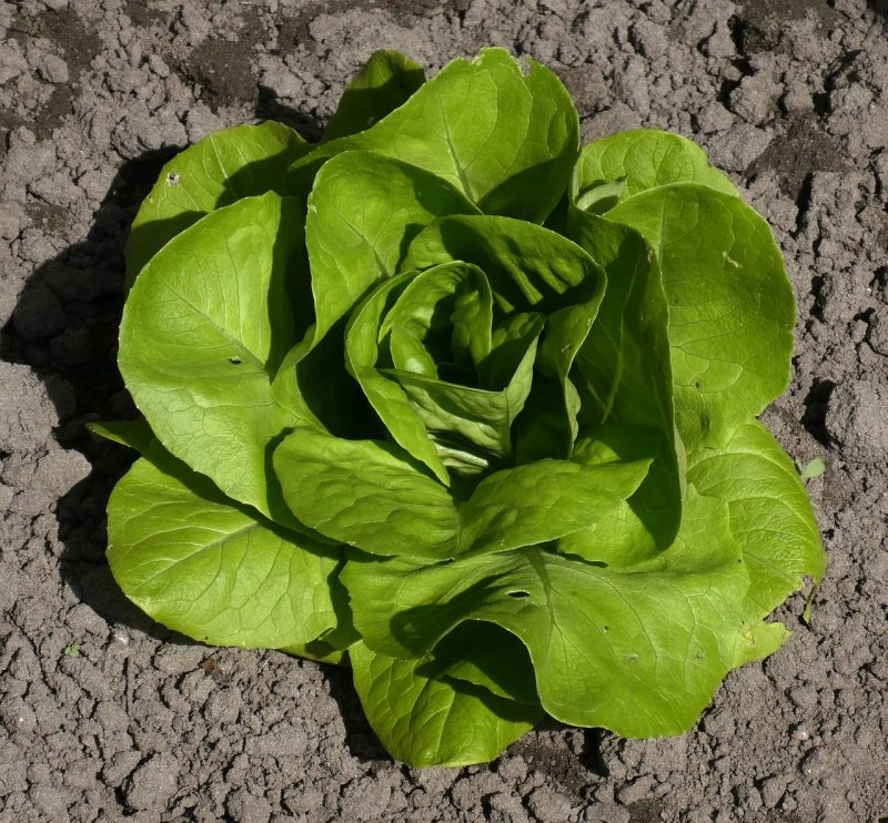 growing lettuce, lettuce varieties, butterhead lettuce, tom thumb, lettuce