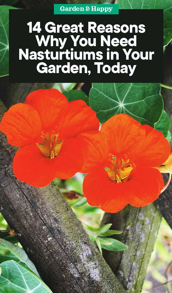 Not known Factual Statements About What Are Nasturtium Seeds Used For