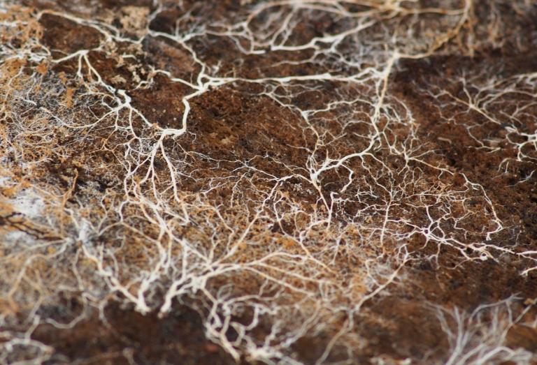 Mycelia web