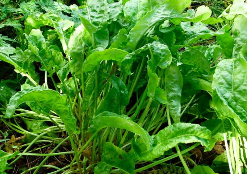 herbs that grow in the shade, shade herbs, shade garden herbs, herbs for shady spots, sorrel, common sorrel, garden sorrel, Rumex acetosa