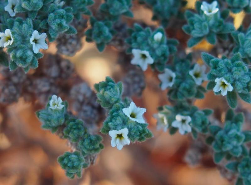 heliotrope blooms