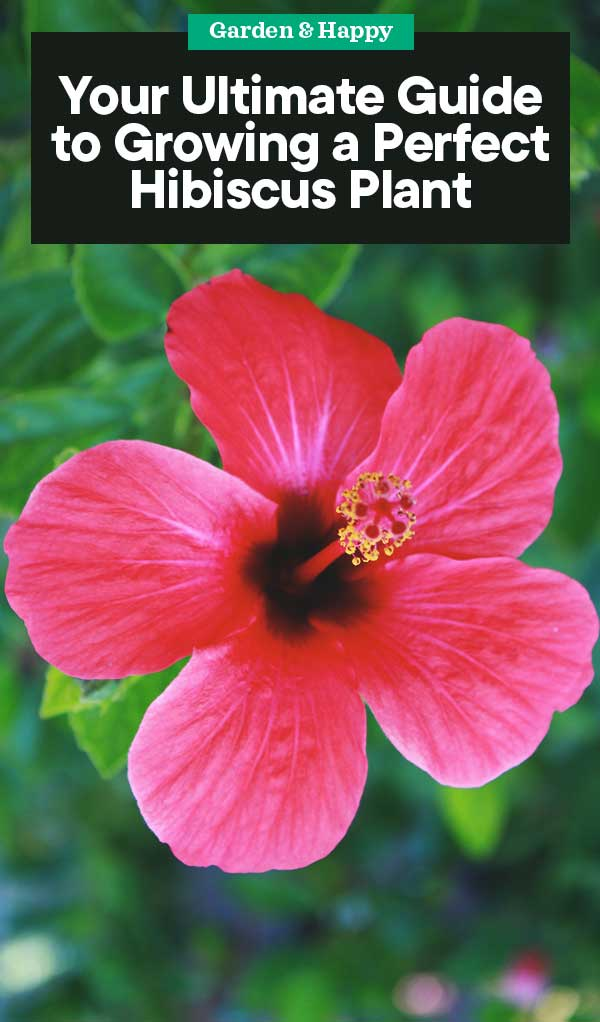 Your Ultimate Guide To Growing A Perfect Hibiscus Plant Garden And