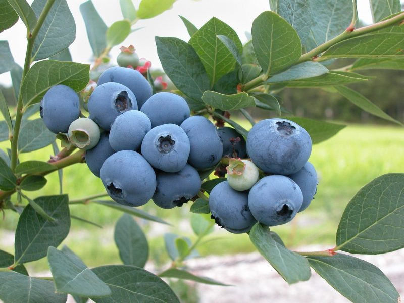 permaculture garden, perennials, perennial berries, blueberries, blueberry, blueberry bush