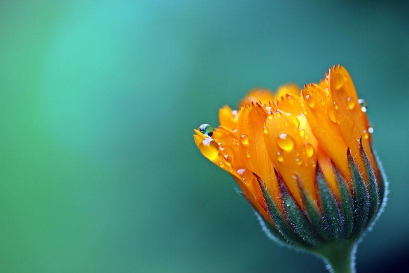Calendula marigold