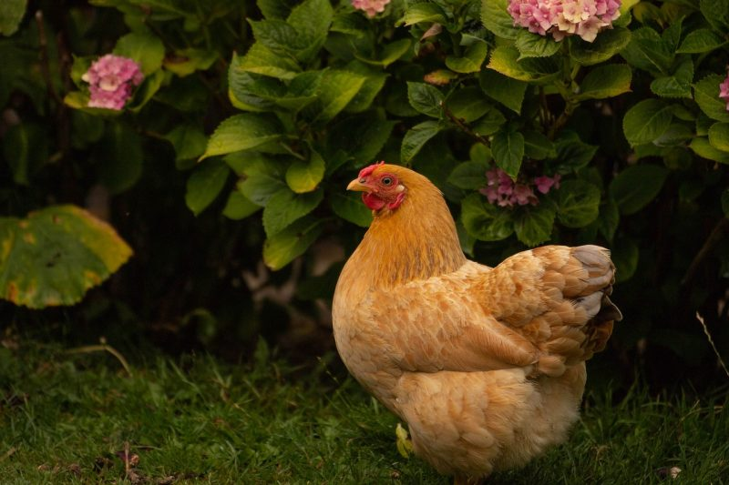 8 of the Best Egg-Laying Chickens for Backyard Farmers ...