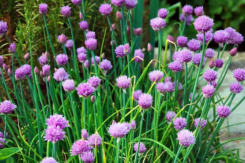 herbs that grow in the shade, herbs for shady areas, shade herbs, herbs to grow in the shade, chives, chive herb, garlic chives