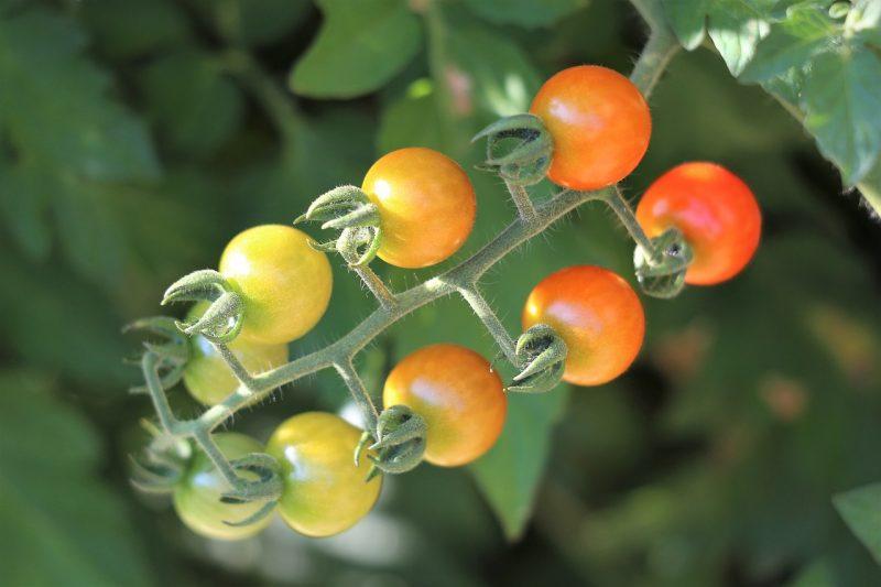 Underripe cherry tomatoes