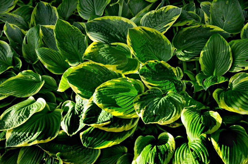 Afterglow hosta
