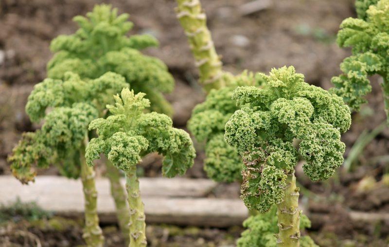 Walking stick kale