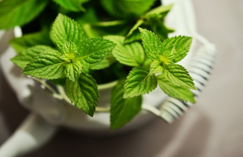 herbs that grow in the shade, herbs for shade, shady herbs, herbs for shady spots, mint, peppermint, spearmint, growing mint