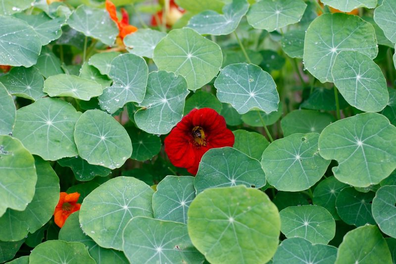 Nasturtiums ground cover