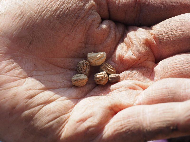 Planting nasturtium seeds
