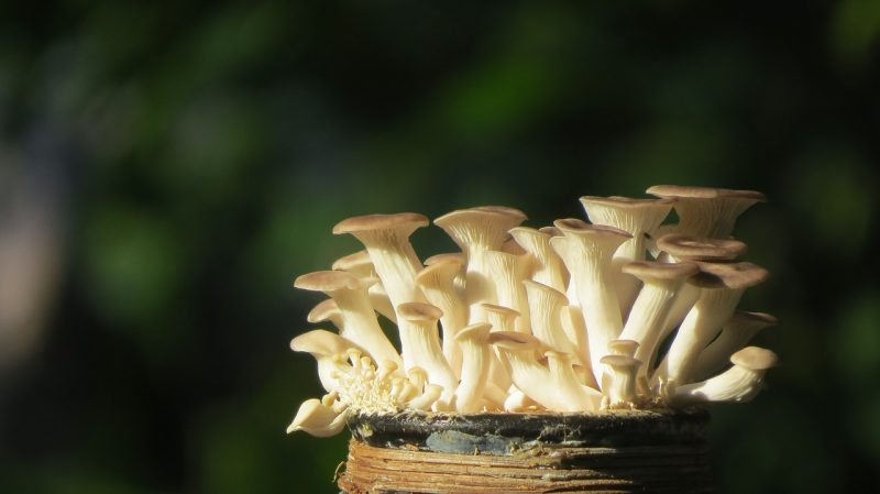Growing oyster mushrooms outdoors