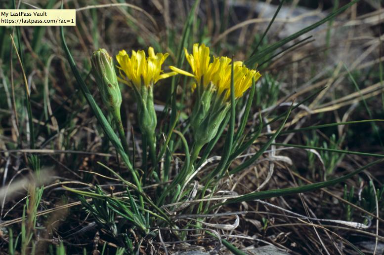 scorzonera flowers