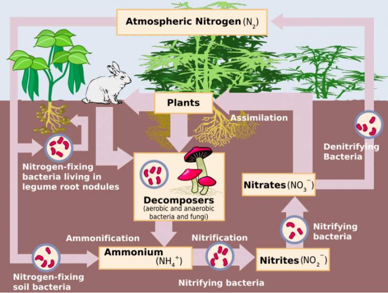 Plants nitrogen cycle