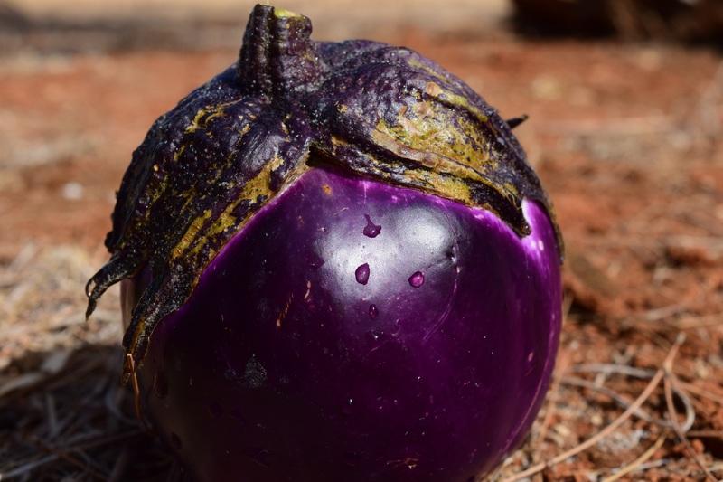 Indian eggplant