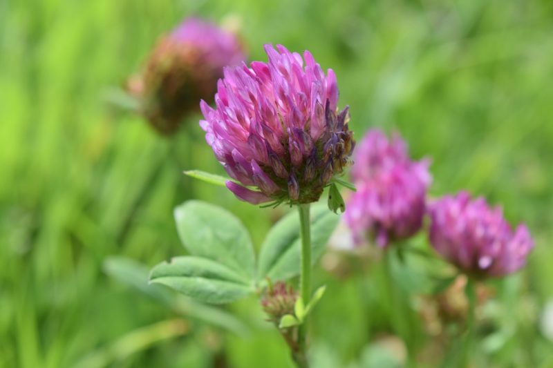growing the red clover plant