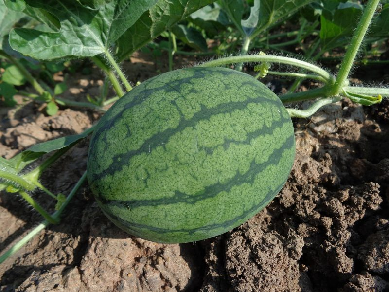 watermelon for deep soil