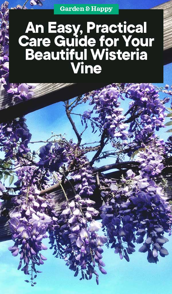 An Easy Practical Care Guide For Your Beautiful Wisteria Vine