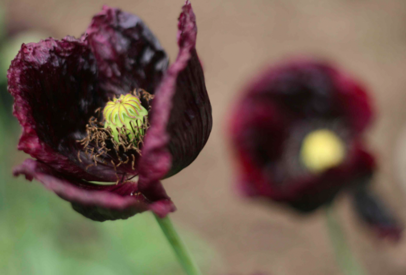 black poppy flowers