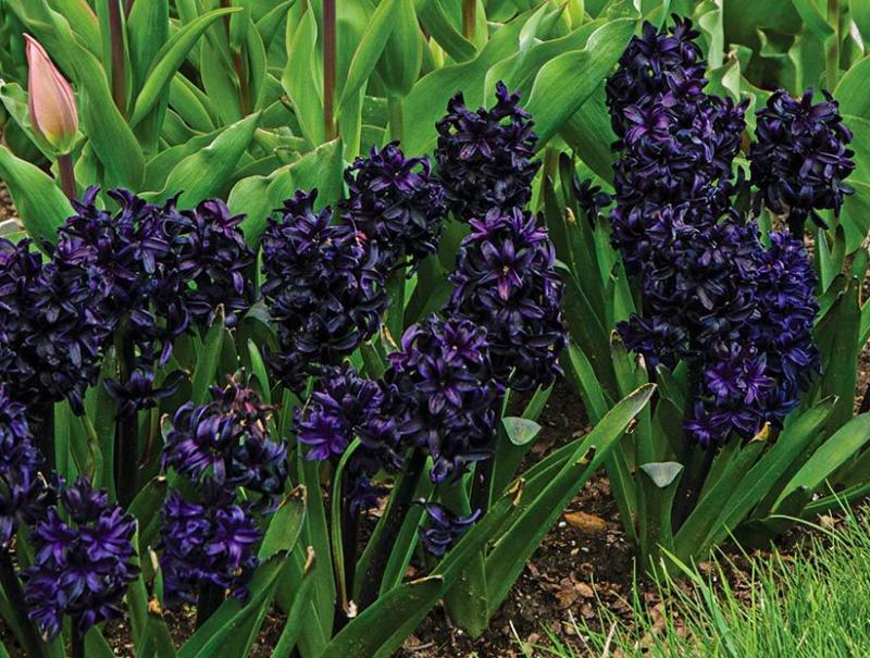 Black hyacinth