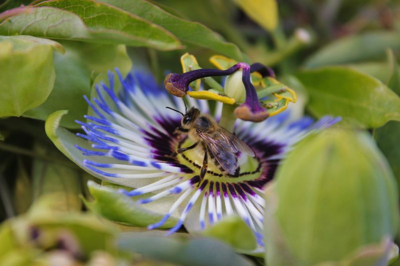 Bee on purple passionflower