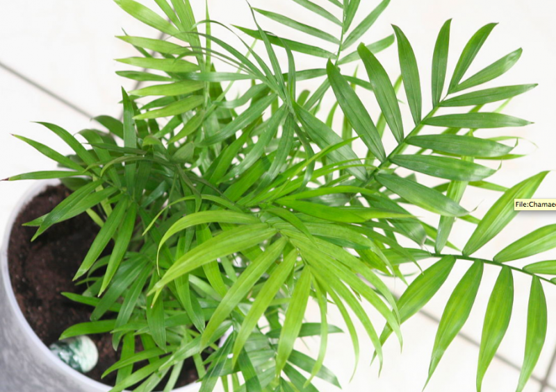 bamboo palm indoor plants