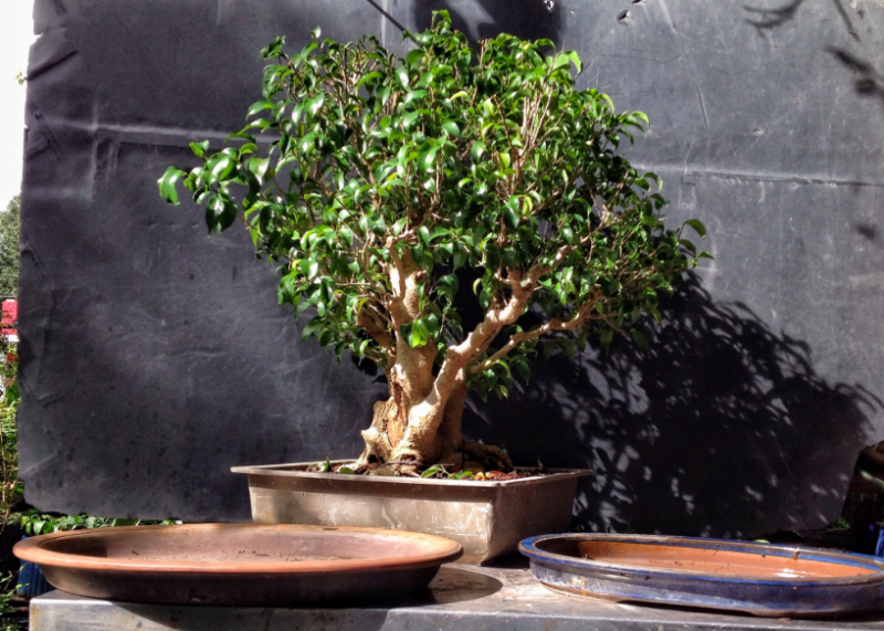 "Ficus benjamina ""Too Little"""