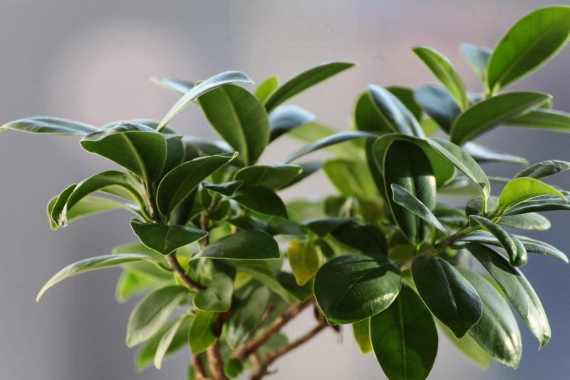 easy indoor plants ficus