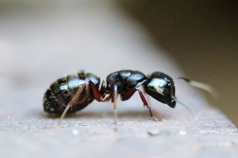 Ant on countertop