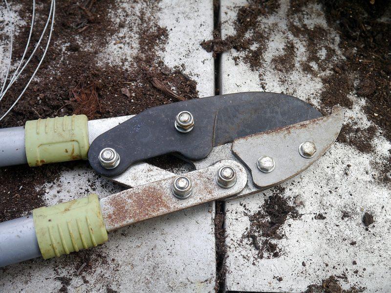 pruning your kiwi plant