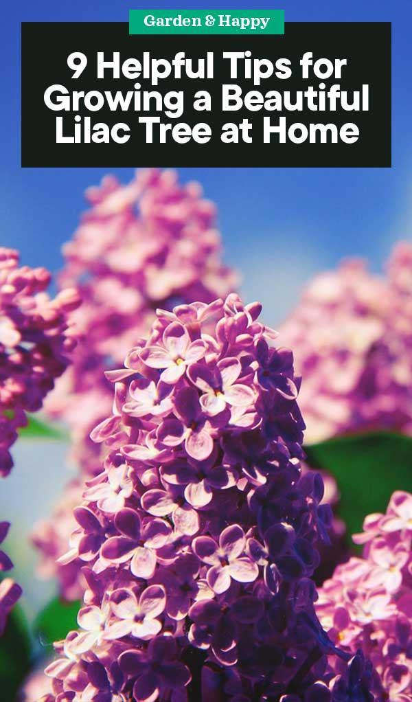 9 Helpful Tips For Growing A Beautiful Lilac Tree At Home Garden